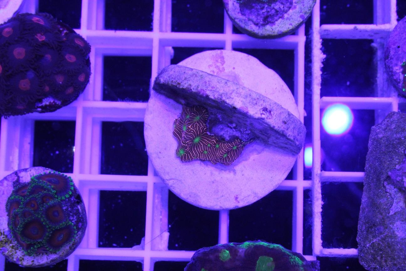 Jason Fox Green Eyed Orange Leptoseris