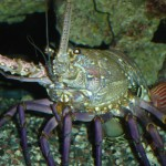 Spiny Lobster Defense Posturing