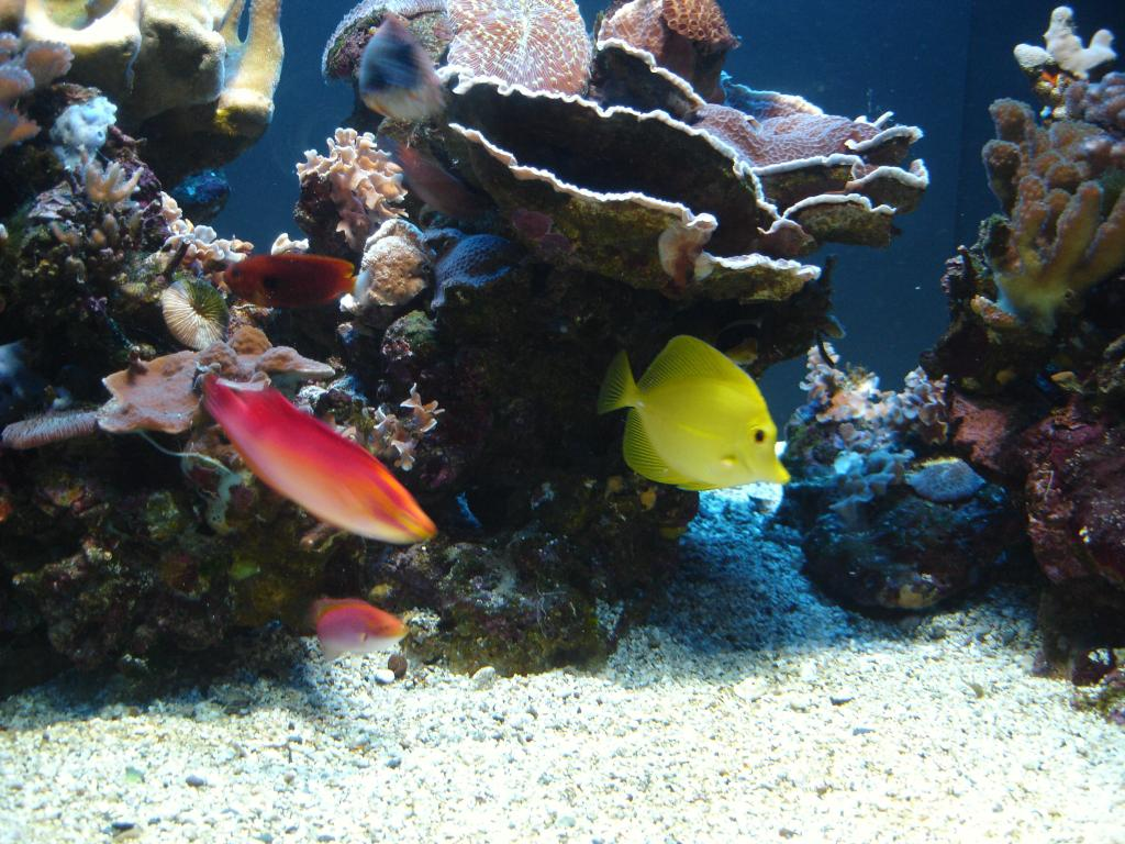 Yellow Tang and Wrasses Hiding Under Corals