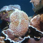 Plate Coral Sitting on Rocky Substrate
