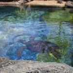 Green Sea Turtle at Waikiki Aquarium