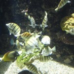 Convict Tang Feeding Frenzy