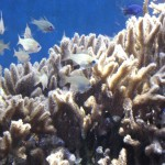Cardinalfish Among SPS