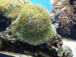 Huge Green Anemone