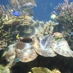 Huge Gigas Clam Surrounded by Hard Corals