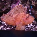 Scorpionfish Aquarium