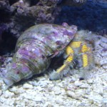 Giant Yellow Hermit Crab