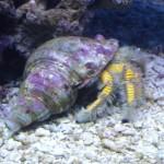 Giant Yellow Hermit Crab