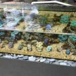 Outdoor Display Aquarium with Tridacna Clams