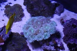 Huge Duncanopsammia axifuga Colony
