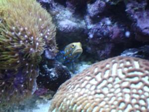 Blue Spot Jawfish Opistognathus Rosenblatti