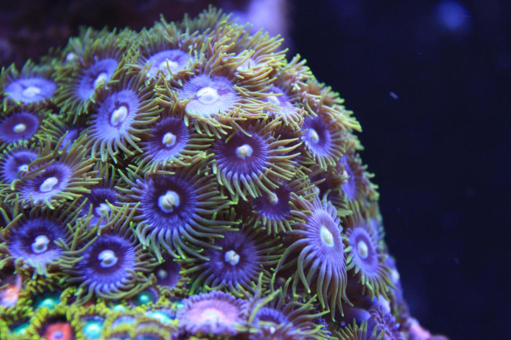 Blue Zoanthids with Yellow Skirt and Yellow Mouth