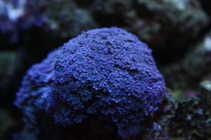 The fast growing Blue Anthelia Snowflake Coral