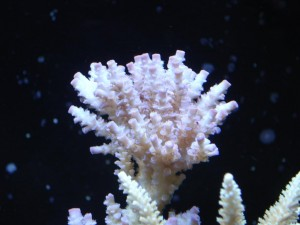 Blue Acropora Coral At Start of ZEOvit