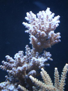 Blue Acropora Coral Before ZEOvit