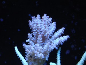 Blue Acropora Coral After a Couple Weeks of ZEOvit