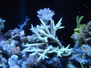 Scripp's Acropora and A. Tenius
