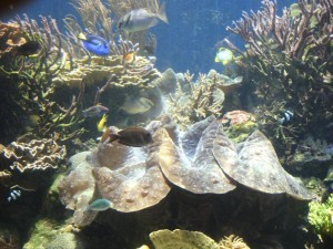 Tridacna Gigas Clam at Waikiki Aquarium