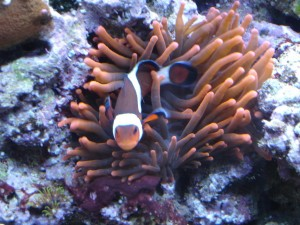 Rose Bubble Tip Anemone with Ocellaris Clownfish