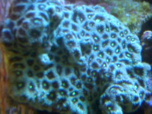 Aussie War Coral Favia
