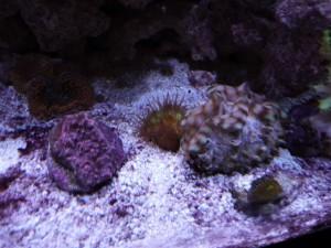 Heteropsammia cochlea near Squamosa clam