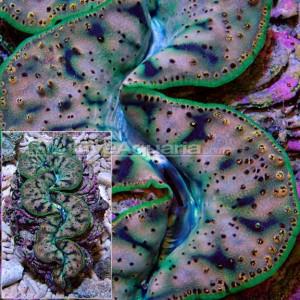 Ultra Tridacna Maxima Clam