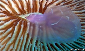 Fungia scruposa eating jellyfish