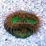 Australian Heteropsammia Coral