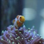 ORA Grade A Picasso Clonfish