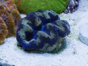 Blue and Gold Tridacna crocea Clam
