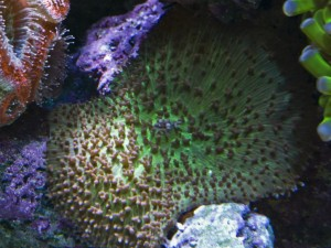 Fuzzy Mushroom Coral