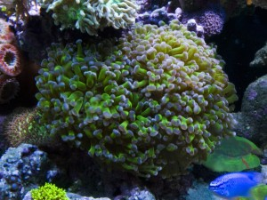 Green Frogspawn with Purple Tips