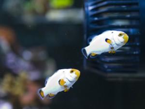 ORA Platinum Picasso Clownfish