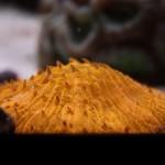 Vibrant Orange Plate Coral