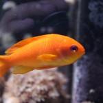 Vibrant Orange Female Squarespot Anthias