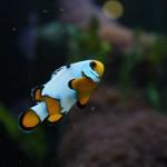 ORA Snowflake Ocellaris Clownfish