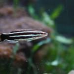 Basslet in Display Aquarium