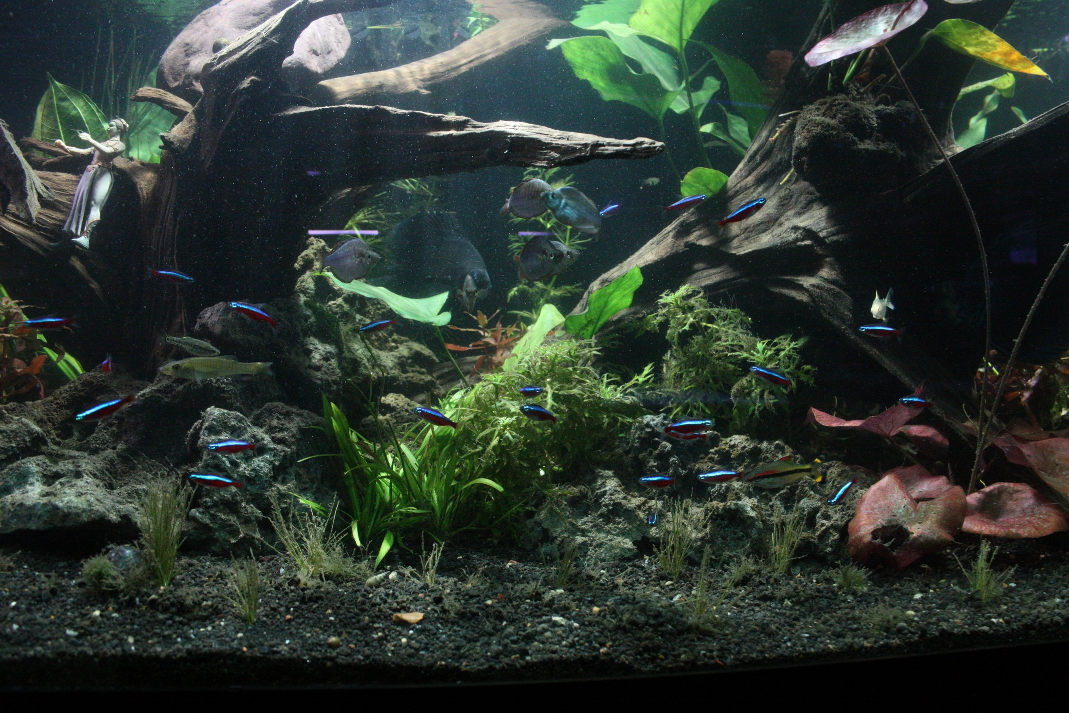 Freshwater planted display aquarium for Big freshwater aquarium fish