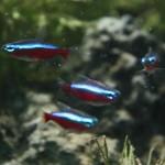 Cardinal Tetras Freshwater Fish