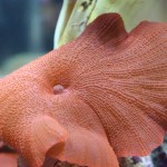 Huge Red Mushroom Coral