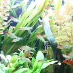 Freshwater Tetras