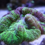 Green Open Brain Coral
