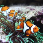 Percula Clownfish Pair in Green Anemone