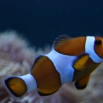 Ocellaris Clownfish in Mixed Reef Aquarium