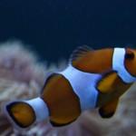 Ocellaris Clownfish in Mixed Reef Aquarium