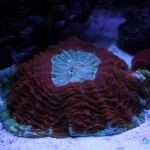 Red and Green Cynaria doughnut coral