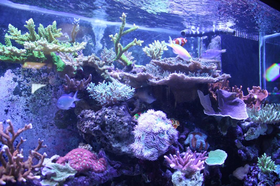 SPS Dominated Reef Aquarium