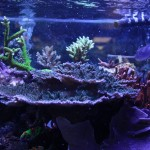 Tabling Acropora Solitaryensis in Display Reef