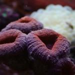 Lobophyllia in Reef Aquarium