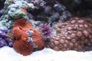 Purple Tube Worm in Mixed Reef
